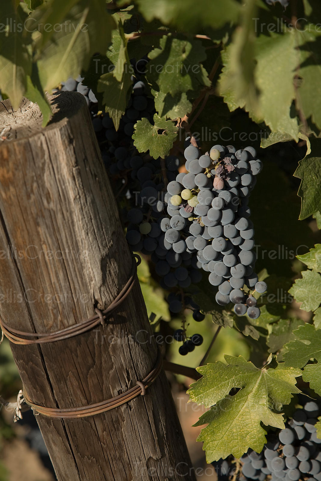 A cluster of ripe cabernet sauvignon grapes on the vine