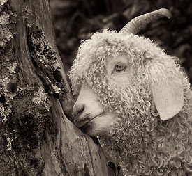 Woody - Goats of Roan