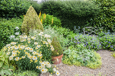 The Vean Garden is predominantly white, blue and gold, with clipped box and golden privet surrounded by lush perennials such as Leucanthemum x superbum 'Goldrausch', hardy geraniums, Alchemilla mollis, ligularias and variegated comfrey and phlox. Bosvigo, Truro, Cornwall, UK