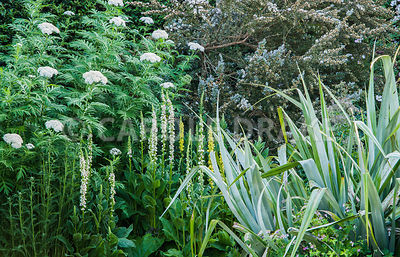 White and yellow flower spikes of Verbascum chaixii with tall Achillea grandifolia and leptospermum behind and silvery Astelia chathamica in front. Caervallack Farm, St Martin, Helston, Cornwall, UK