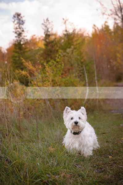 small white groomed terrier dog waiting in trail