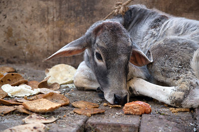 A calf rests near piles of chapati bread given to it by nearby market stall operators, Delhi, India