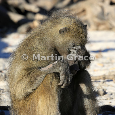 Depression (Chacma Baboon)