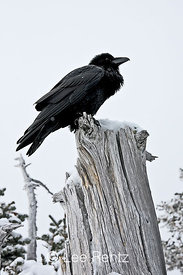 Common Raven (Corvus corax) perched on a dead tree on Hurricane Ridge, Olympic National Park, Olympic Peninsula, Washington, USA, March, 2009_WA_8172