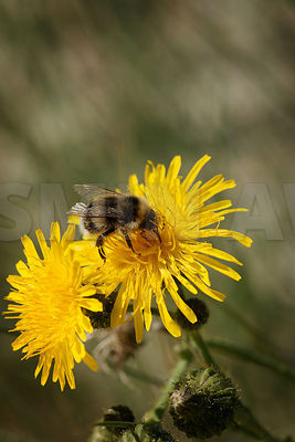 Wild flower with Honeybee..Gemany