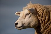 Texel ewes head, close up. Cumbria.
