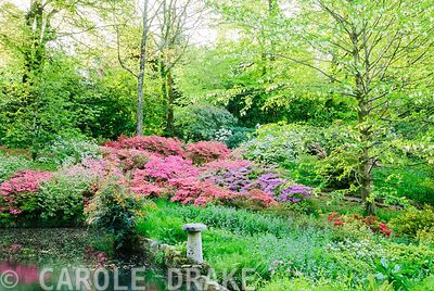 Vivid mounds of azaleas cluster below a handkerchief tree, Davidia involucrata, beside the lower pond. Lukesland, Harford, Ivybridge, Devon, UK