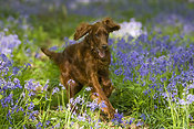 Irish setter in bluebell wood