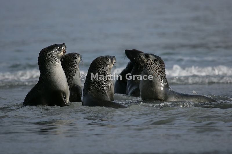 Adolescent male Antarctic Fur Seals (Arctocephalus gazella) sparring with each other in the edge of the Antarctic Ocean