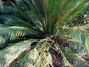 Macrozamia Johnsonii