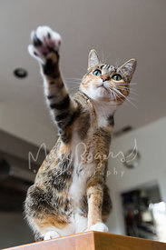 Brown Tabby Cat Reaching Out Paw from Counter