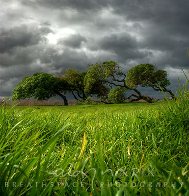 Ground level view through green grass of trees blown sideways in the wind, dark grey storm clouds in the sky