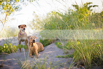 two mixed breed tan dogs posing on sand dune with grasses