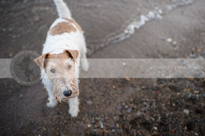 wirehaired fox terrier staring upward from beach