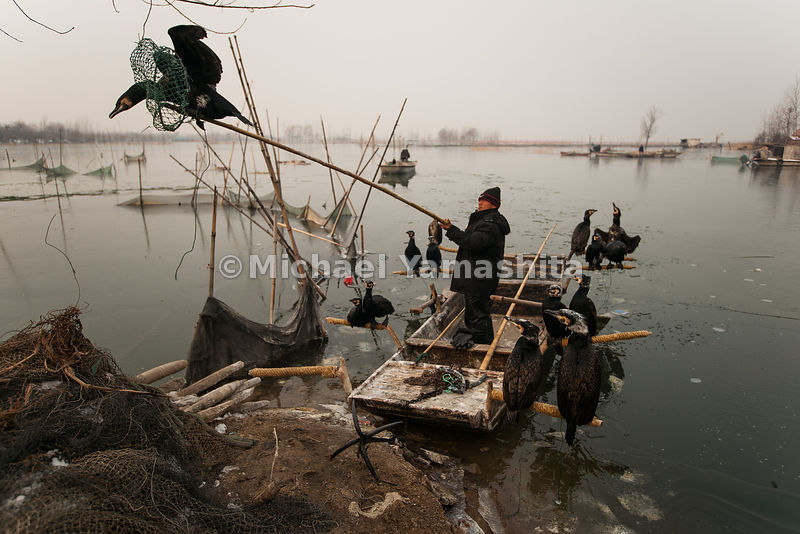 A fisherman loads cormorants onto his boat on Weishan Lake, which is part of the canal system. As their forebears have for more than a millennium, a few local families make a living by tying a string around the throats of the birds so they can't swallow larger fish, then forcing them to give up their catch.