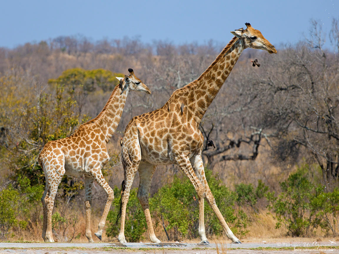 Giraffe mother and baby at a pan in South Africa