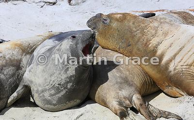Aggressive Southern Elephant Seal (Mirounga leonina) on the beach, Elephant Corner, Sea Lion Island, Falkland Islands