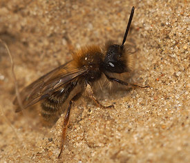 Andrena clarkella, first male of 2015 at nest aggregation at Miseriebocht Sint joris ten distel
