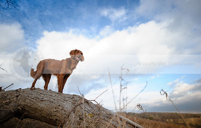 longhaired red setter dog perched on log under sky with clouds