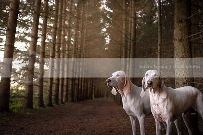 two white hunting hounds posing in pine forest