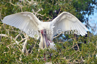 African Spoonbills (Platalea alba) mating, River Chobe, Botswana: Image 1 of 3 to show the wings of the male in different positions