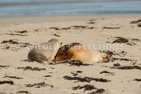 sea_lion_australian_nursing-1
