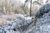 Rhododendrons and azaleas covered with snow beside the stream in the valley bottom. Minterne, Minterne Magna, Dorchester, Dorset, DT2 7AU, UK
