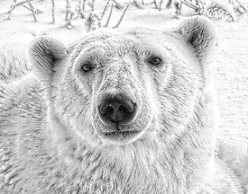Pencil_polar_bear