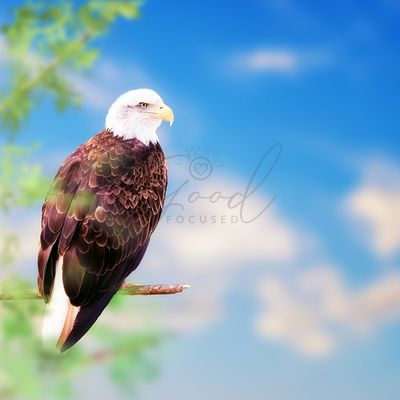 American Bald Eagle Perched on Tree