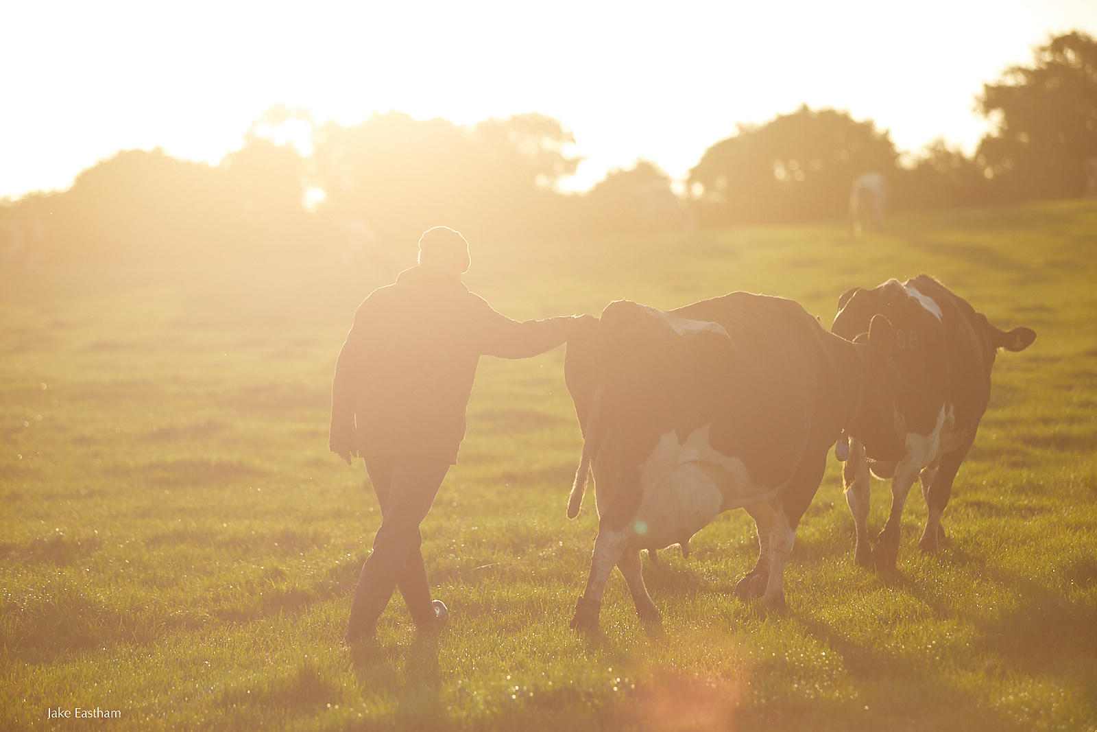 farm, dairy, milk, cattle, dairy cows, grass fed, outdoors, british farming, Jake Eastham