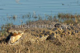 crocodile_mouth_open_2
