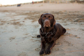 Brown chocolate labrador retriever lying calmly on beach