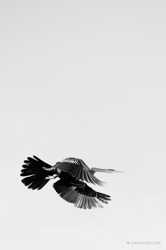 ANHINGA LAKE MARTIN LOUISIANA SWAMP BLACK AND WHITE