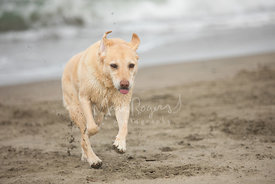 Close-up of Yellow Labrador Out Running on Beach with tip of Tongue Sticking Out