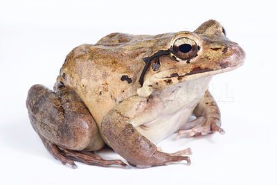 Mountain chicken (Leptodactylus fallax) photos
