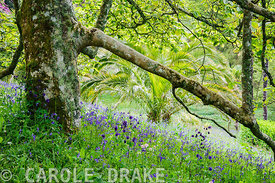 View down through the branches of a spreading magnolia across bluebells, ramsons and aquilegias that have naturalized in the sloping meadow.Glendurgan, Mawnan Smith, Falmouth, Cornwall, UK
