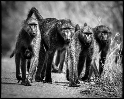 7569-Group_of_baboons_Laurent_Baheux