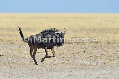Blue Wildebeest (Conochaetes taurinus) with injured left foreleg running to reach the Andoni waterhole, Etosha, Namibia