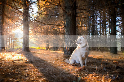 small blond dog sitting in backlit pine forest