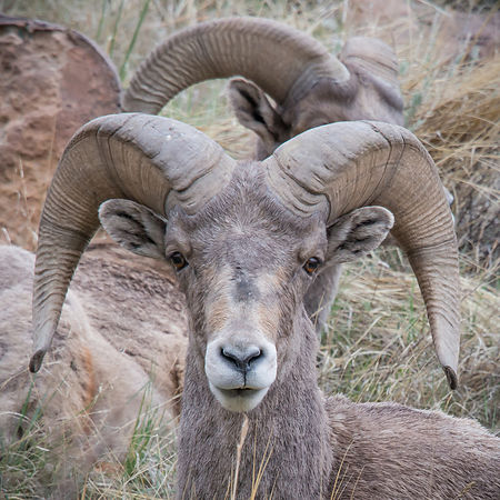 Rocky Mountain Big Horn photos