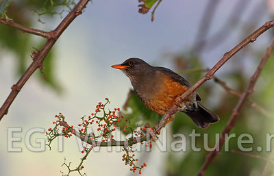Mountain thrush - Ethiopia