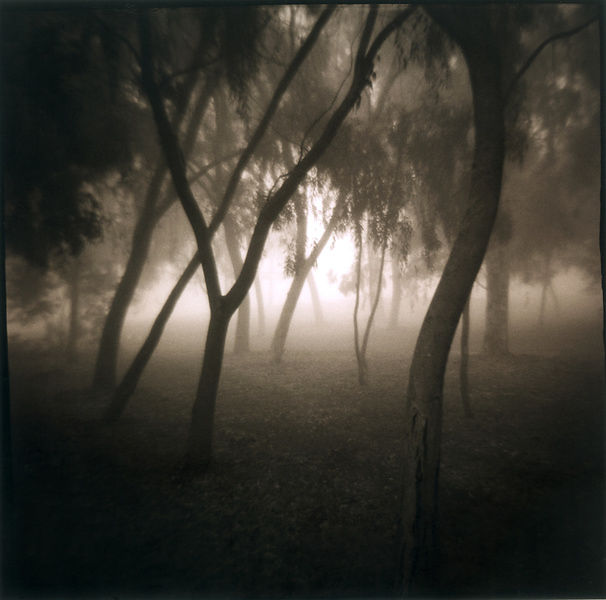 Forest of trees in the fog