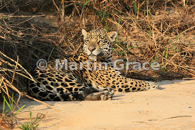 Female Jaguar 'Hunter' (Panthera onca) rests by Three Brothers River, Northern Pantanal, Mato Grosso, Brazil. Image 35 of 62; elapsed time 46mins