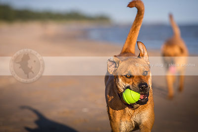 cross breed dog fetching playing with ball on beach