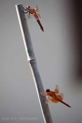 Two orange dragonflies in Citrus Heights, California