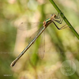 Emerald damselfly: