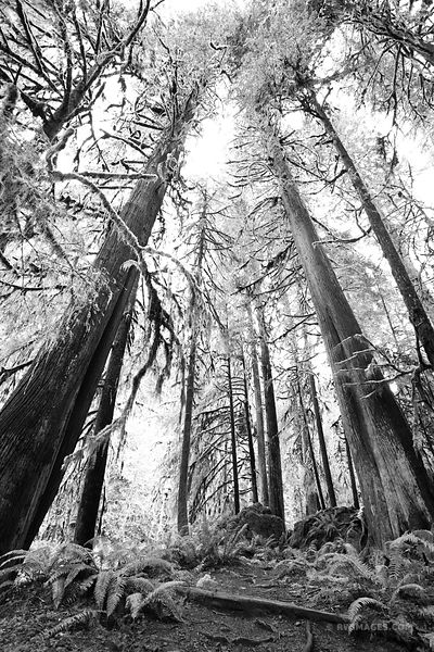 RAINFOREST TREES MARYMERE FALLS TRAIL OLYMPIC NATIONAL PARK WASHINGTON BLACK AND WHITE VERTICAL