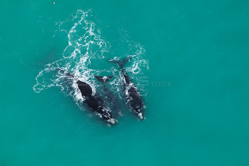 Aerial photograph of Southern Right Whales (Eubalaena australis) near Cape Agulhas, South Africa,  Western Cape Province, Indian Ocean, August