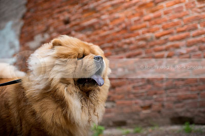 windblown red chow dog at brick wall in urban setting