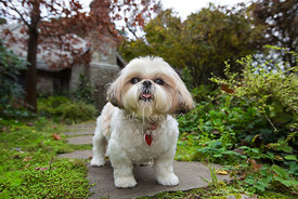 Happy Looking Shih Tzu Dog Standing in front of house